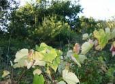 HISTOIRE 8/ Les grands clos de vigne à Couëron vers la fin du XVIème siècle
